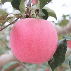 果蜜组合  高原生态红富士苹果12枚/箱  中药材蜂蜜(礼品盒装党参蜜)1kg/两瓶/盒