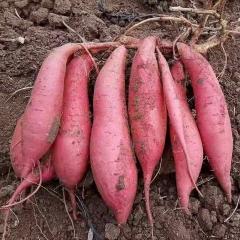 西瓜红红薯